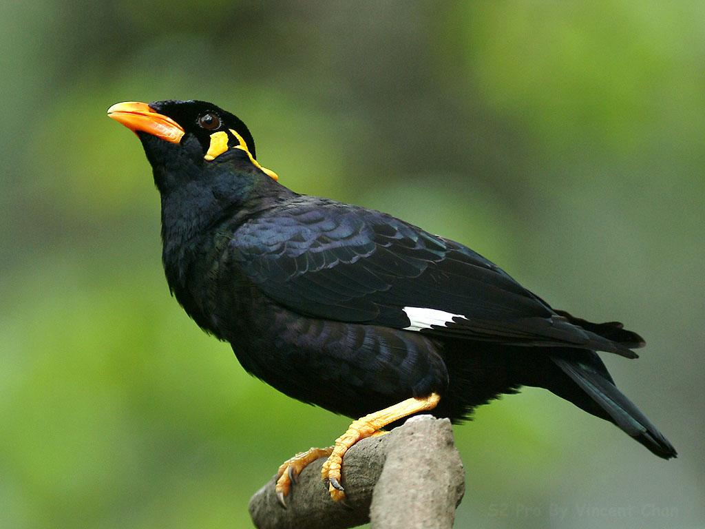 Mynah Bird. Moorfoot - SHEFFIELD HISTORY CHAT - Sheffield ... - photo#47
